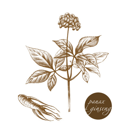 Vector images of medicinal plants. Biological additives are. Healthy lifestyle. Panax ginseng. Illustration