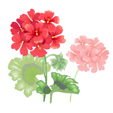 Vector illustration of a geranium flower isolated on white background. Victorian style vintage. Floral design to print on clothing, cards, wedding invitations, congratulations, botanical texts.