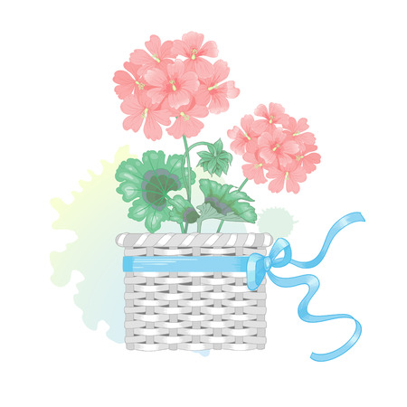 Vector illustration of a flower isolated pink geraniums in a wicker basket with a bow and watercolor stain. Victorian style. Vintage. Design for design wedding invitations, greetings, postcards. Illustration