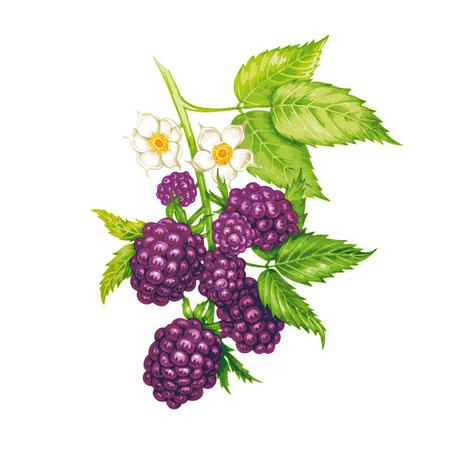 Vector naadloze achtergrond. De takken van een blackberry met bessen en bloemen geïsoleerd op een witte achtergrond. Ontwerp voor stoffen, textiel, papier, behang, web. Wijnoogst.