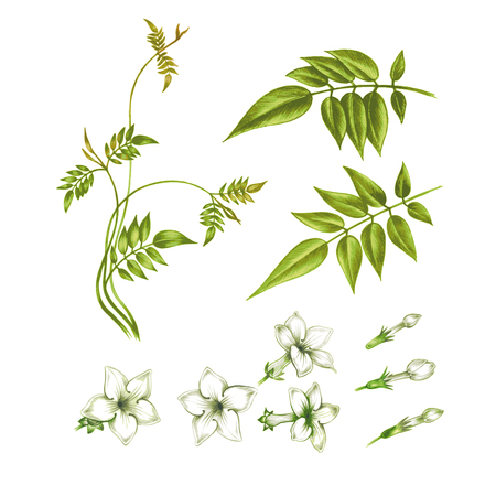 흰색 배경에 고립 자스민 꽃입니다. 인사말 카드, 청첩장, 장식품, 패턴을 만들 수 있습니다. 벡터.