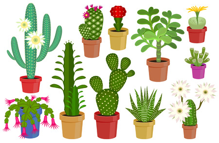 floriculture: Vector illustration set of blooming flowers home cactus in pots isolated on white background. Illustration