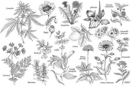 Zestaw wektora leczniczych ziół, kwiatów, roślin, przypraw, owoców. Ilustracja Cannabis, mak, mniszek lekarski, babka zwyczajna, kminku, berberysu, rozmaryn, wanilia, kawa, żeń-szenia, rumianku, cytryny, krwawnika. Ilustracje wektorowe