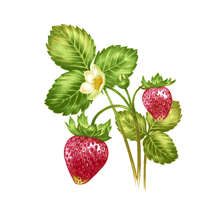 Illustration with flowering strawberry bush with berries isolated on white background. To create greeting cards, wedding invitations, congratulations patterns and ornaments. Vector.
