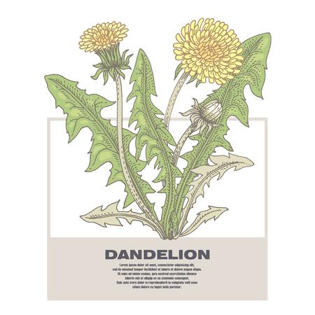 Dandelion. Illustration of medical herbs. Isolated image on white background. Vector. Ilustrace