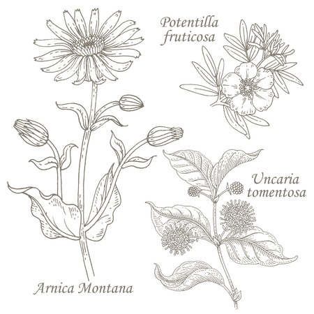 Arnica Montana, potentilla fruticosa, uncaria tomentosa. Set of illustration of medical herbs. Isolated image on white background. Vector.