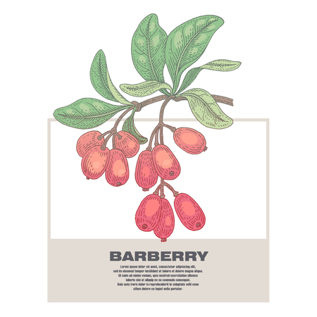 designation: Barberry. Illustration of medical herbs. Isolated image on white background. Vector.