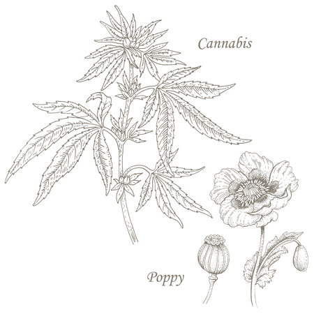 medicate: Cannabis, poppy. Set of illustration of medical herbs. Isolated image on white background. Vector. Illustration