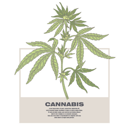 soporific: Cannabis. Illustration of medical herbs. Isolated image on white background. Vector.