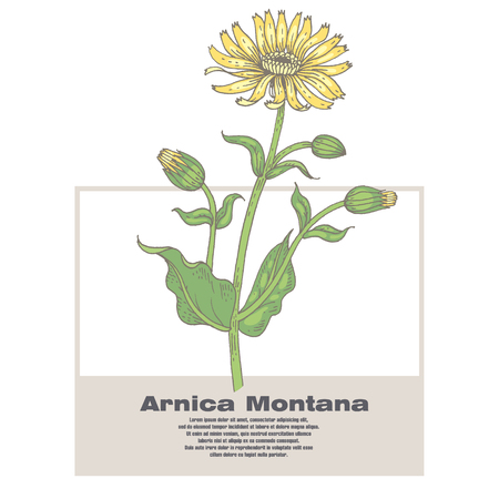 designation: Arnica Montana. Illustration of medical herbs. Isolated image on white background. Vector. Illustration