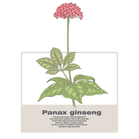 Panax ginseng. Illustration of medical herbs. Isolated image on white background. Vector.