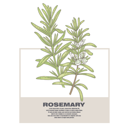 Rosemary. Illustration of medical herbs. Isolated image on white background. Vector. Ilustrace