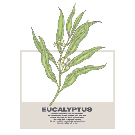 medicate: Eucalyptus. Illustration of medical herbs. Isolated image on white background. Vector.