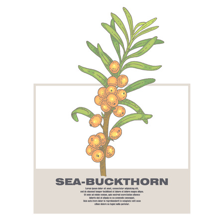 designation: Sea-buckthorn. Illustration of medical herbs. Isolated image on white background. Vector.