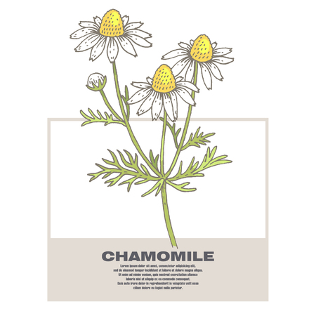 additives: Chamomile. Illustration of medical herbs. Isolated image on white background. Vector.