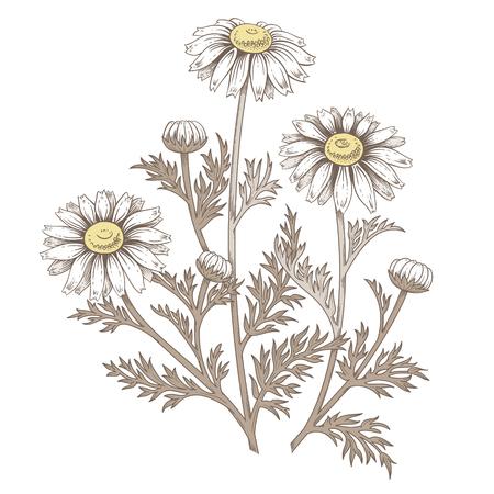 pâquerette: Illustration des herbes médicinales. Isolé fleur objet marguerite sur un fond blanc. Vecteur. Camomille. Illustration