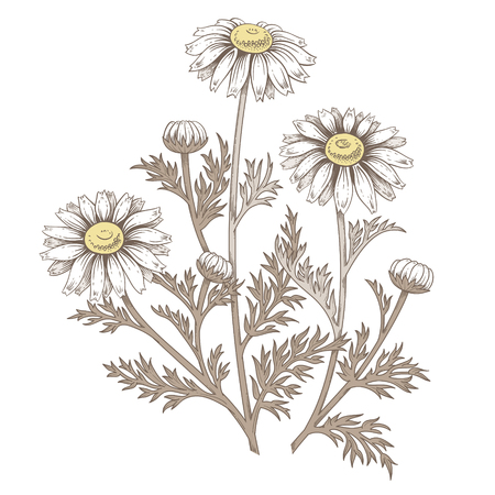 chamomile tea: Illustration of medical herbs. Isolated object daisy flower on a white background. Vector. Chamomile. Illustration