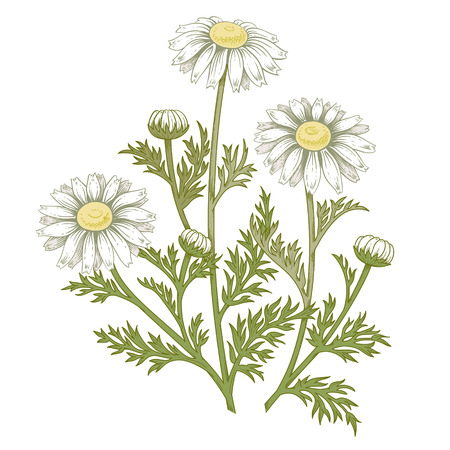 Illustration of medical herbs. Colorful isolated object daisy flower on a white background. Vector. Chamomile.
