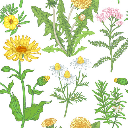 arnica: Illustration of dandelion, yarrow, rosemary, chamomile, arnica, bloodroot. Seamless vector pattern. Flowers of medicinal plants on a white background.