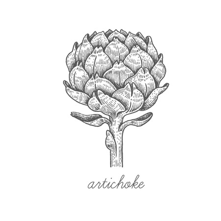 Artichoke. Vector plant isolated on white background. The concept of graphic image of medical plantsherbsflowersfruitsroots. Designed to create package of health and beauty natural products. Ilustração