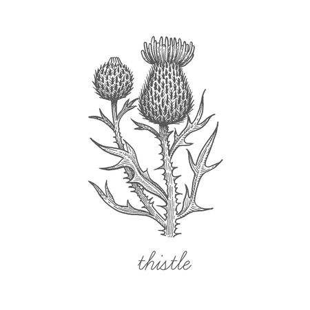 Thistle. Vector plant isolated on white background. The concept of graphic image of medical plantsherbsflowersfruitsroots. Designed to create package of health and beauty natural products. Çizim
