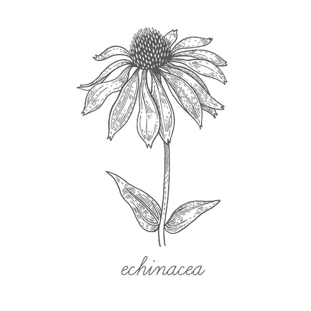 Echinacea. Vector plant isolated on white background. The concept of graphic image of medical plantsherbsflowersfruitsroots. Designed to create package of health and beauty natural products. Ilustração