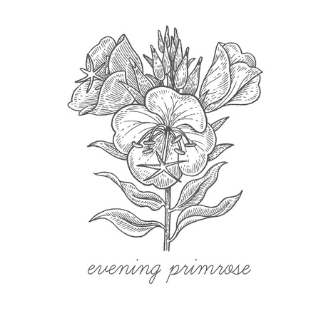 Evening primrose. Vector plant isolated on white background. The concept of graphic image of medical plantsherbsflowersfruitsroots. Designed to create package of health and beauty natural products