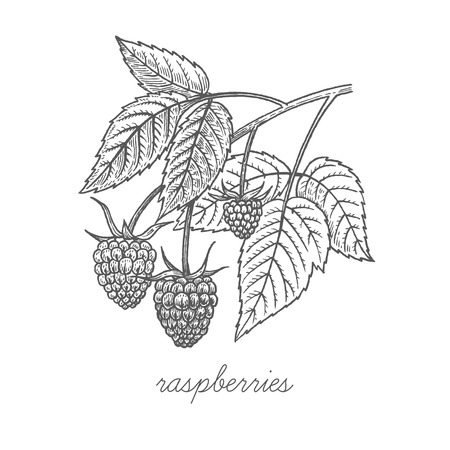 Raspberries. Vector plant isolated on white background. The concept of graphic image of medical plants, herbs, flowers, fruits, roots. Designed to create package of health and beauty natural products.