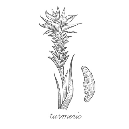 Turmeric. Vector plant isolated on white background. The concept of graphic image of medical plants, herbs, flowers, fruits, roots. Designed to create package of health and beauty natural products.
