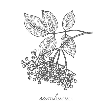 Sambucus nigra. Vector plant isolated on white background. The concept of graphic image of medical plants/herbs/flowers/fruits/roots. Designed to create package of health and beauty natural products. Reklamní fotografie - 57320288