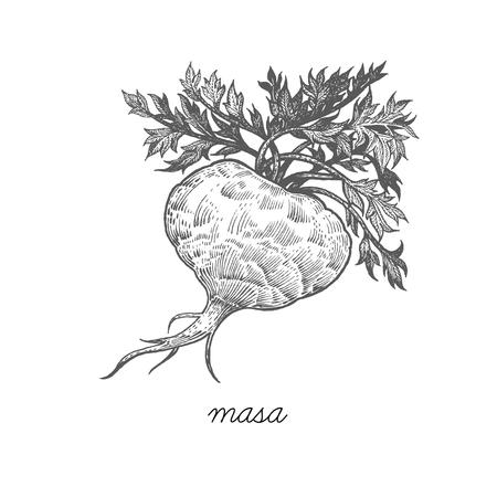 Maca. Vector plant geïsoleerd op een witte achtergrond. Het concept grafisch beeld van geneeskrachtige planten, kruiden, bloemen, vruchten, wortels van. Ontworpen om pakket van gezondheid en schoonheid natuurlijke producten te creëren.