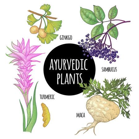 Illustrazione Set di vettore erbe e piante ayurvediche. Ginkgo biloba, sambucus, curcuma, maca isolato su sfondo bianco. Integratori naturali, il concetto di bellezza, salute e natura. Vettoriali