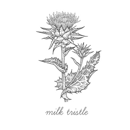 Milk thistle. Vector plant isolated on white background. The concept graphic images of medicinal plants, herbs, flowers, fruits, roots. Can used for packaging of natural products health and beauty. Vector Illustration