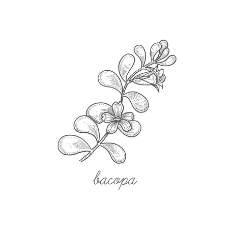Bacopa. Vector plant isolated on white background. The concept graphic images of medicinal plants, herbs, flowers, fruits, roots. Can used for packaging of natural products health and beauty. Illustration