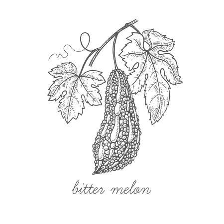 비터 멜론. 벡터 공장 흰색 배경에 고립입니다. 개념 약용 식물, 허브, 꽃, 과일, 뿌리의 그래픽 이미지. 천연 제품 건강과 아름다움의 포장에 사용 할  일러스트