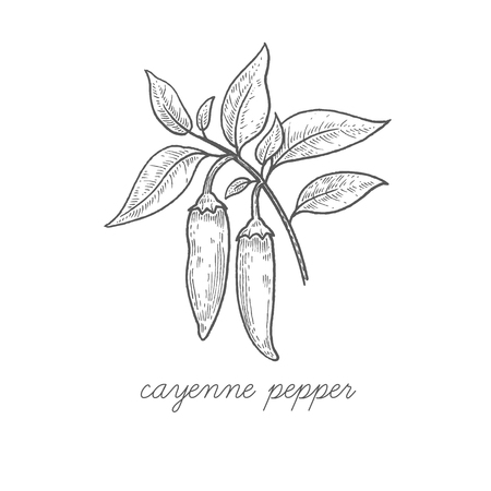 cayenne: Cayenne pepper. Vector plant isolated on white background. The concept graphic images of medicinal plants, herbs, flowers, fruits, roots. Can used for packaging of natural products health and beauty. Illustration