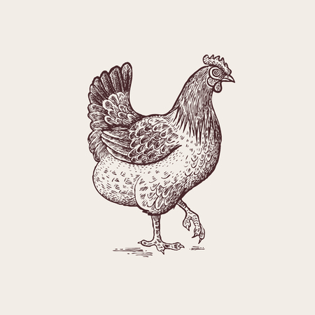 Vector illustration - a bird hen. A series of farm animals. Graphics, handmade drawing figure chicken. Vintage engraving style. Nature - Sketch. Isolated fowls image on a white background.