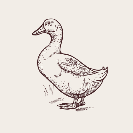 Vector illustration - a bird duck. A series of farm animals. Graphics, handmade drawing. Vintage engraving style. Nature - Sketch. Isolated fowls image on a white background.