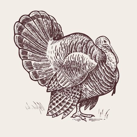 Ilustración del vector - un pavo pájaro. Una serie de animales de granja. Gráficos, dibujo a mano. estilo de grabado de la vendimia. Naturaleza - bosquejo. aves imagen aislada sobre un fondo blanco.