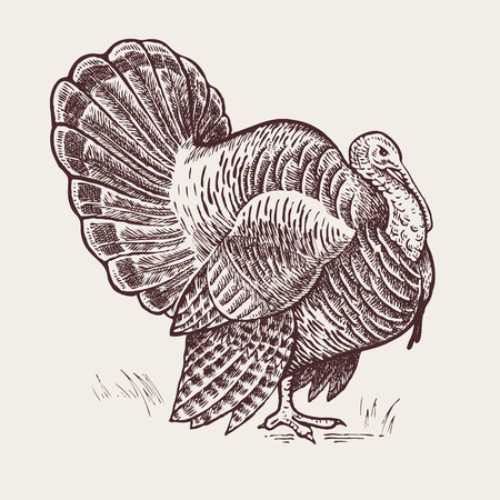 Vector illustration - a bird turkey. A series of farm animals. Graphics, handmade drawing. Vintage engraving style. Nature - Sketch. Isolated fowls image on a white background. Reklamní fotografie - 59412979