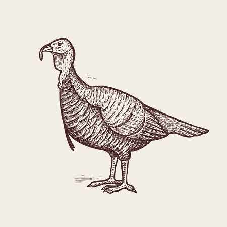 fowls: Vector illustration - a bird turkey. A series of farm animals. Graphics, handmade drawing. Vintage engraving style. Nature - Sketch. Isolated fowls image on a white background.