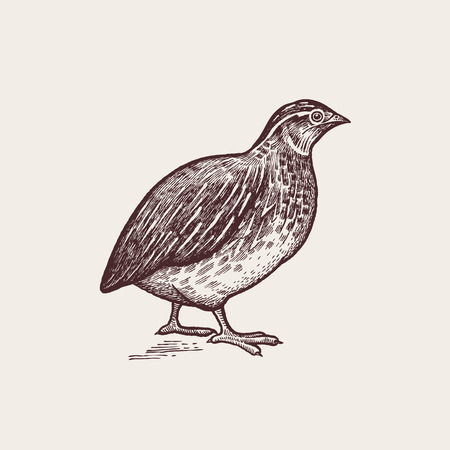 Vector illustration - a bird quail. A series of farm animals. Graphics, handmade drawing. Vintage engraving style. Nature - Sketch. Isolated fowls image on a white background.  イラスト・ベクター素材