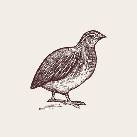 ベクター グラフィック - 鳥のウズラ。農場の動物のシリーズ。手作りのグラフィックを描画します。ビンテージ彫刻スタイル。自然 - スケッチ。白