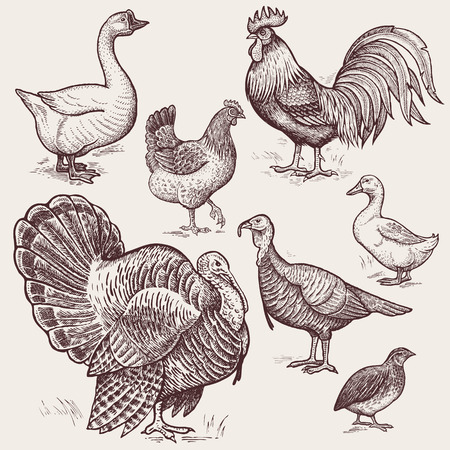 Vector illustration set poultry - goose, rooster, chicken, turkey, duck, quail. A series of farm animals. Graphics drawing. Vintage engraving style. Nature. Sketch. Isolated birds on white background. Stock fotó - 59412984
