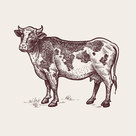 Vector illustration - cattle. A series of farm animals. Graphics, handmade drawing. Vintage engraving style. Nature - Sketch. Isolated cow image on a white background. Ilustracja