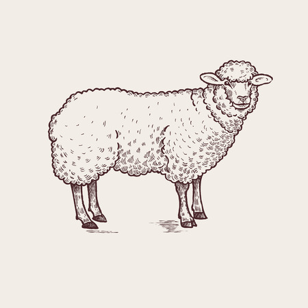 Vector illustration - domesticated animals. Graphics, handmade drawing. Vintage engraving style. A series of farm animals. Nature - Sketch. Isolated sheep image on a white background.