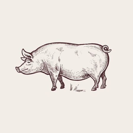 Vector illustration - animaux domestiques. Graphiques, dessin à la main. style de gravure ancienne. Une série d'animaux d'élevage. Nature - Sketch. image de porc isolé sur un fond blanc. Vecteurs