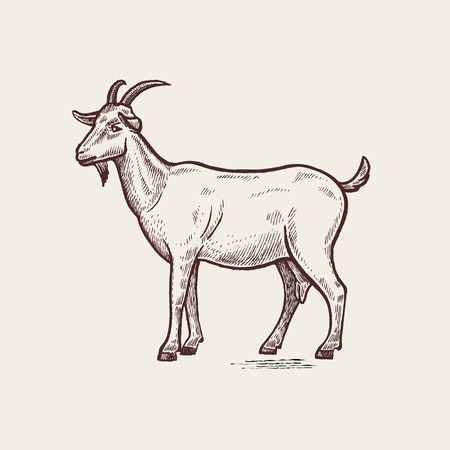 Vector illustration - domesticated animals. Graphics, handmade drawing. Vintage engraving style. A series of farm animals. Nature - Sketch. Isolated goat image on a white background.