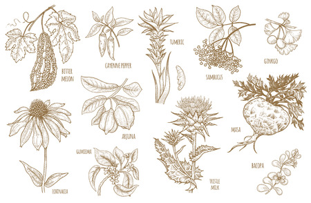 Ginkgo biloba, sambucus, turmeric, maca, Arjuna, Bacopa, cayenne pepper, bitter melon, Gymnema, Echinacea flower, thistle milk isolated on white background. Illustration set of vector Ayurvedic herbs.