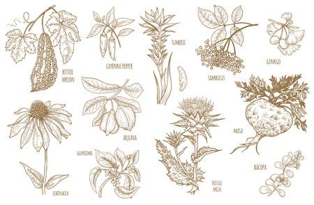 Ginkgo biloba, sambucus, le curcuma, la maca, Arjuna, Bacopa, le poivre de Cayenne, le melon amer, Gymnema, Echinacea fleur, chardon isolé sur fond blanc. ensemble Illustration de vecteur herbes ayurvédiques.